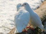 История традиции выпускать голубей на свадьбе